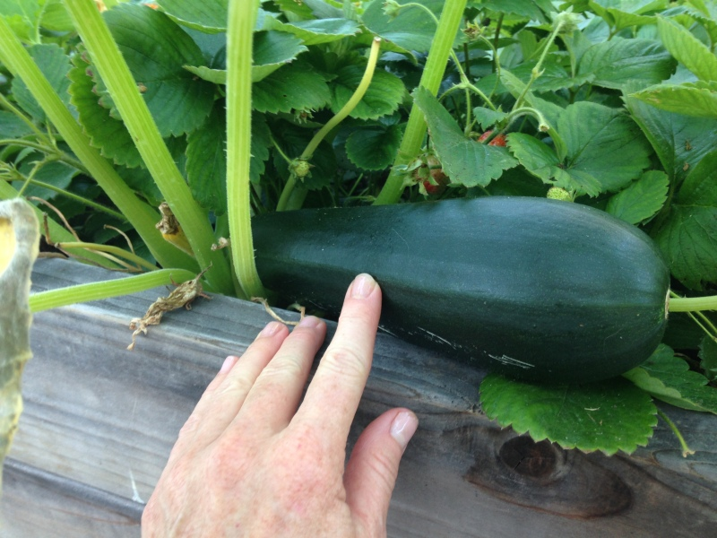 Summer Harvest 2014 cucumber & zucchini (3)